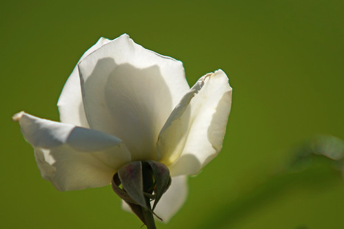 White rose in backlight