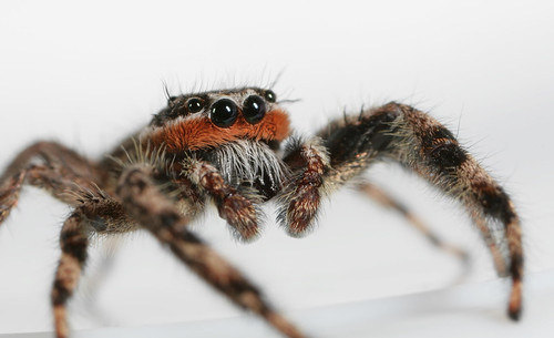 arthropoda spider arachnida salticidae platycryptus platycryptusundatus jumpingspider northcarolina piedmont canonmpe65mmf2815xmacrophoto arachtober inaturalist