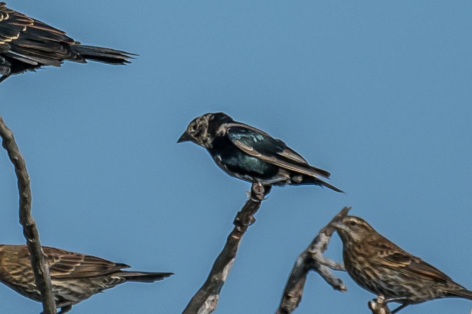 Bronzed Cowbird--1
