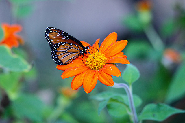 Queen butterfly and flower