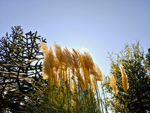 Wednesday was a beautiful clear chilly day. Just right for capturing Pampas Grass in VanDussen Gardens.
