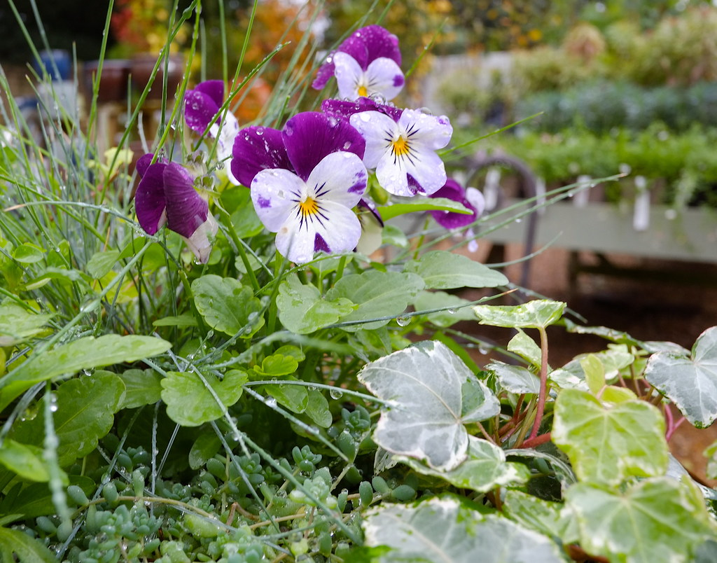 Pansies, Violas or Panolas...