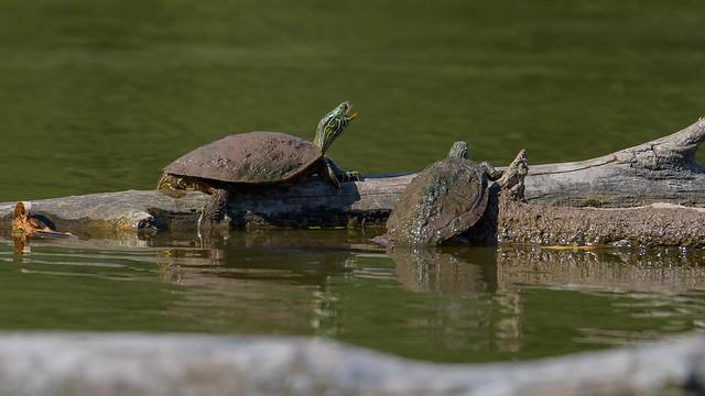 Turtle Humour