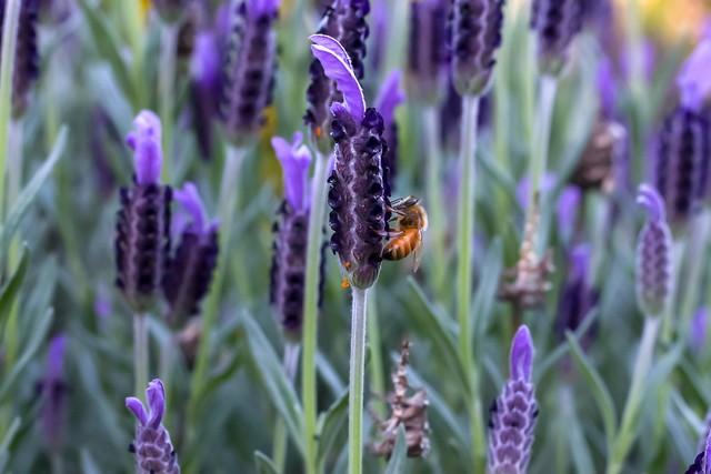 Bee in lavender 2