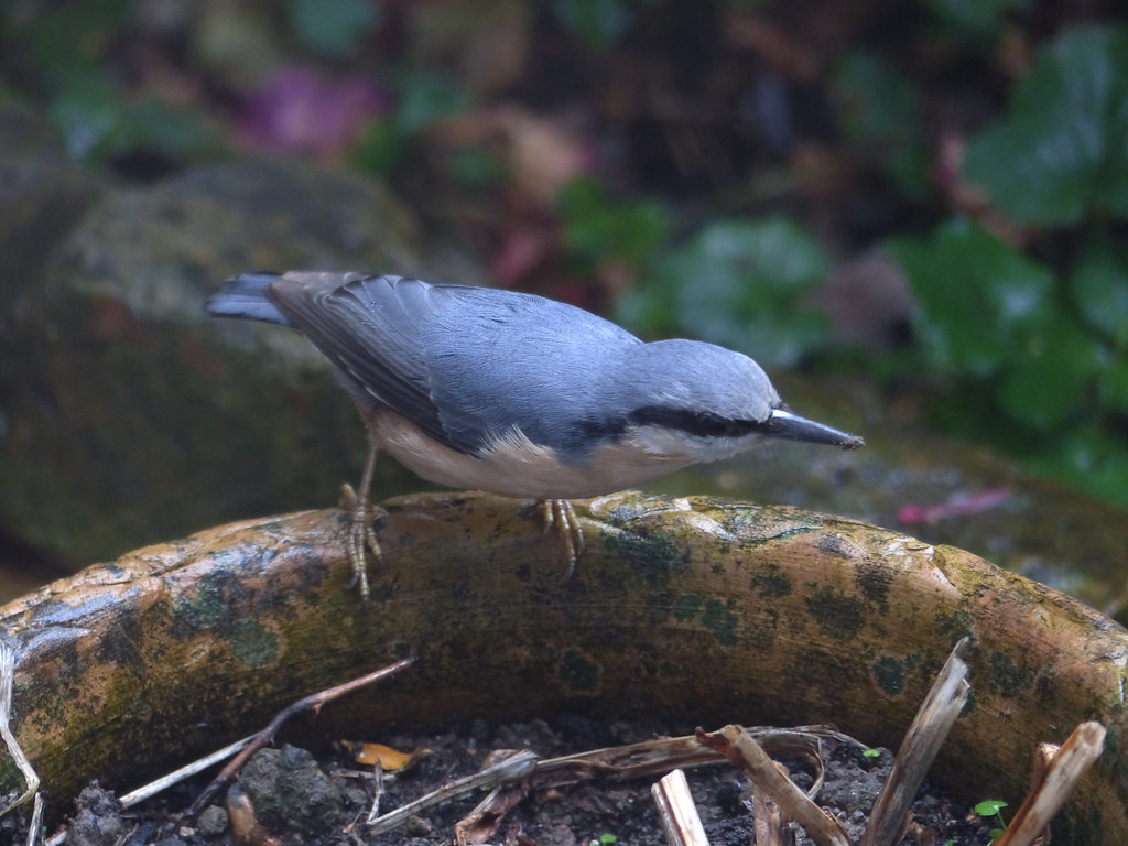 Nuthatch Poses