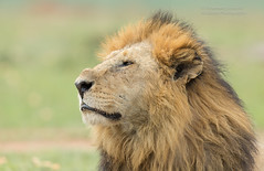 Male Lion - Panthera leo