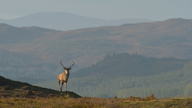 Royal Stag in the Highlands