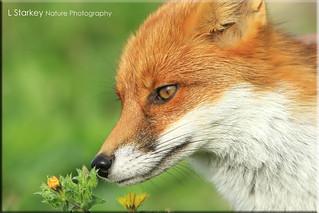 FOX SMELLING A FLOWER
