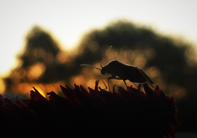 Bug Silhouette..x