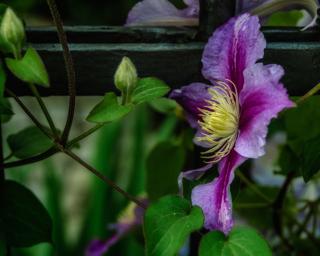Clematis (study in passing by)