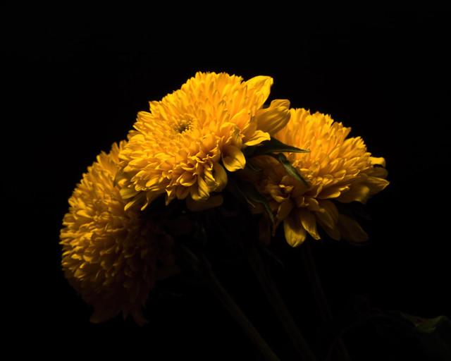 Three Yellow Mums 0803