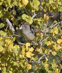 """Peeking through the leaves"" Green-tailed Towhee Bryce Canyon National Park"