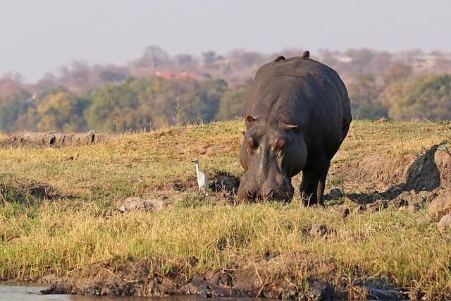 Hippo grazing