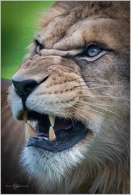 Masque de lion.
