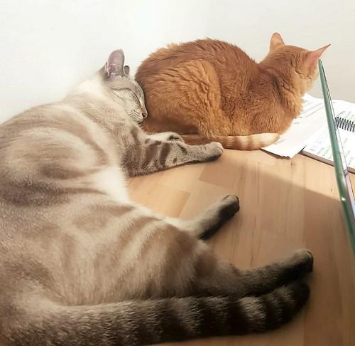Teryl, preciosa gata siamesa tabby esterilizada nacida en Septiembre´18, en adopción. Valencia. ADOPTADA. 48884390047_22c4b07970