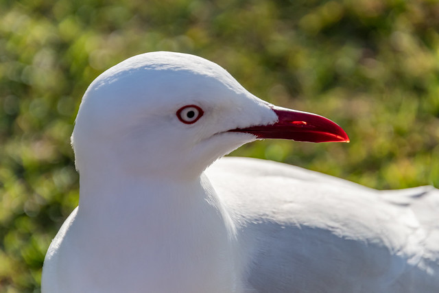 Silver Gull up close in the sunlight with green bokeh background