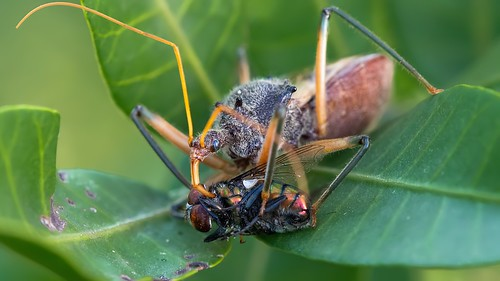assassin bug eating fly | by piggsyface