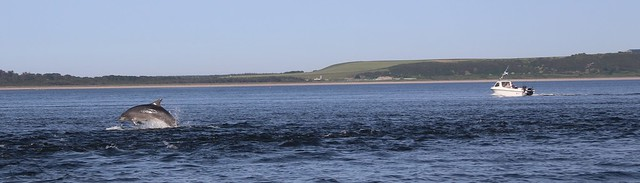 Dolphins Jumping in the Moray Firth, Scotland.
