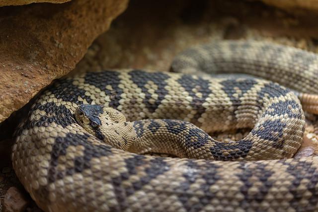 Northwestern Neotropical Rattlesnake  040418-3196