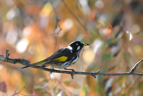 New Holland Honeyeater DSC_0269as | by Cee Jay Cee
