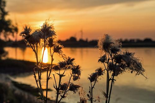 sonnenuntergang fluss elbe drennhausen river sunset stranddistel thistle wasser