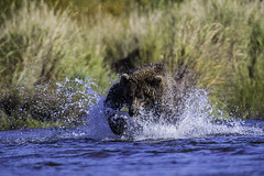 Grizzly chasing salmon in Katmai NP