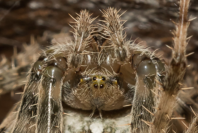 Arachtober 12th - Close-up - Upside-down Araneus diadematus