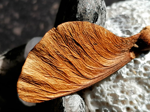 Winged seeds of the maple...