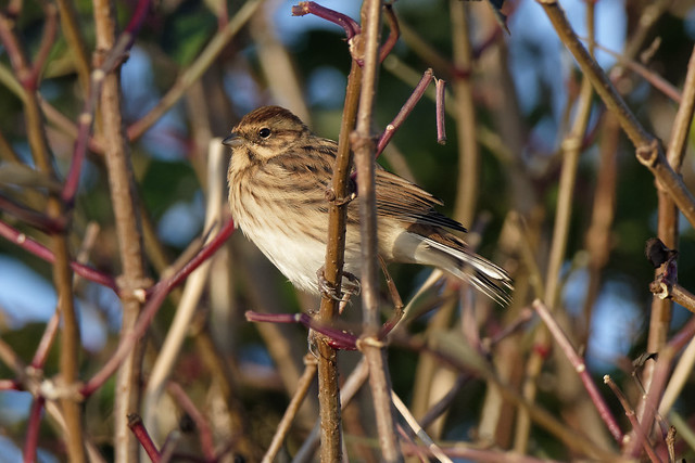 Reed Bunting Salterstown Louth