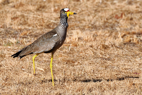 African Wattled Lapwing | by johnaalex