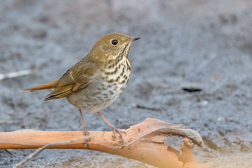avian bird birds california catharusguttatus ebrpd eastbayregionalparks grivesolitaire heth hermitthrush nature outdoors pointpinole pointpinoleregionalshoreline ptpinole thrush wildlife ebparksok