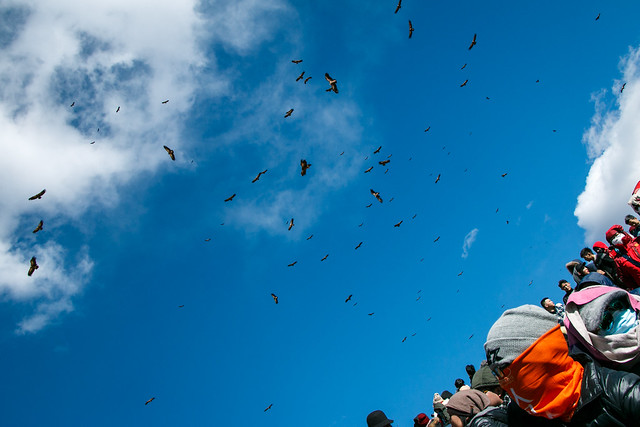 Griffon vultures gathering waiting for sky burial, Larung Gar ラルンガルゴンパ 鳥葬を待ちきれず集まってきたハゲワシたち