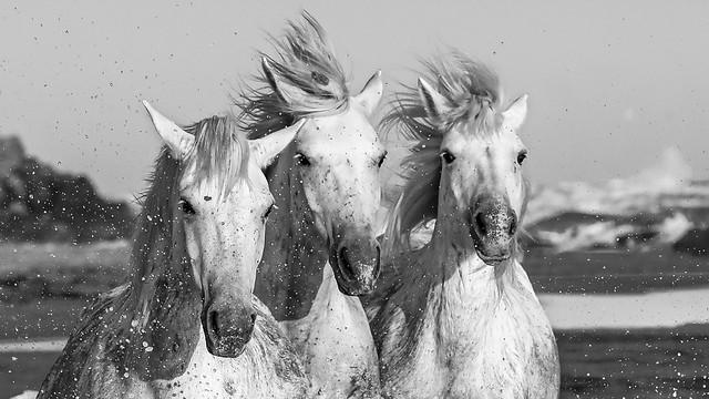 chevaux de camargue bw gros plan-9871