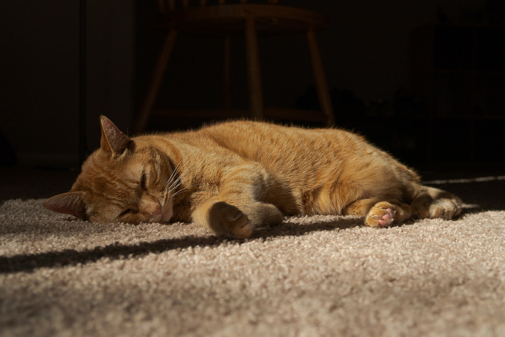 Our cat Sam sleeps in the sunbeams on the carpet in our rental house in November 2018