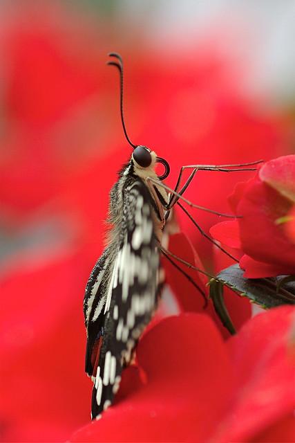 Checkered Swallowtail Butterfly-Papilio demoleus