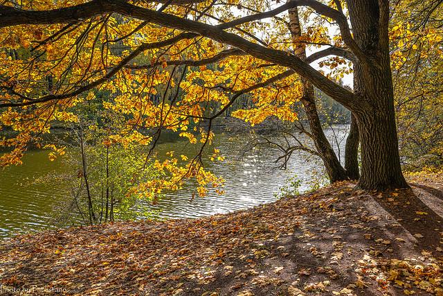 Golden oaks... / Золото дубов...