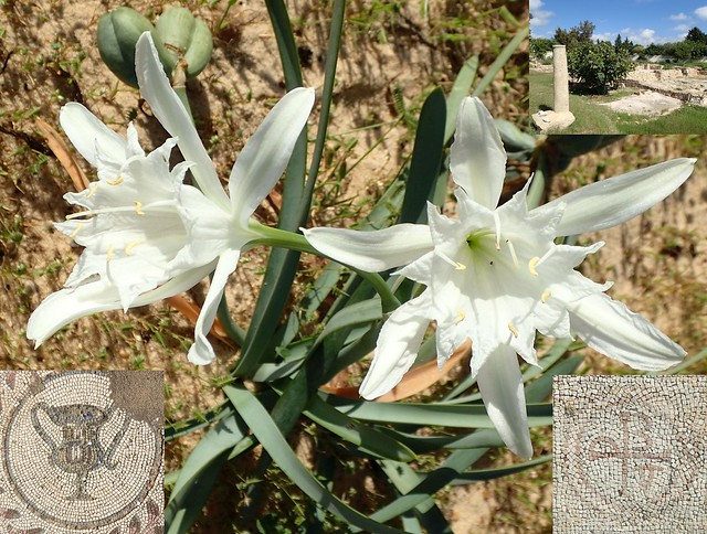 Pancration Musings. Sea Lily, Pancratium maritimum, and Pupput, Hammament, Tunisia