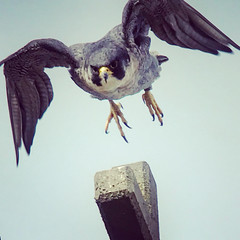 Hunting Peregrine Falcon, Leicester Cathedral, Leicester