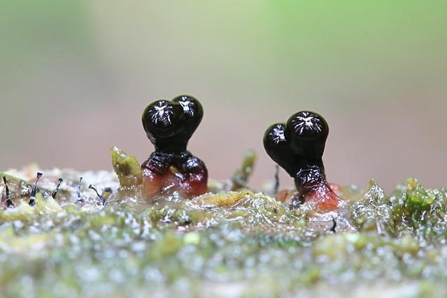 Täplätähtinen - Lepidoderma tigrinum - Spotted tiger slime mold