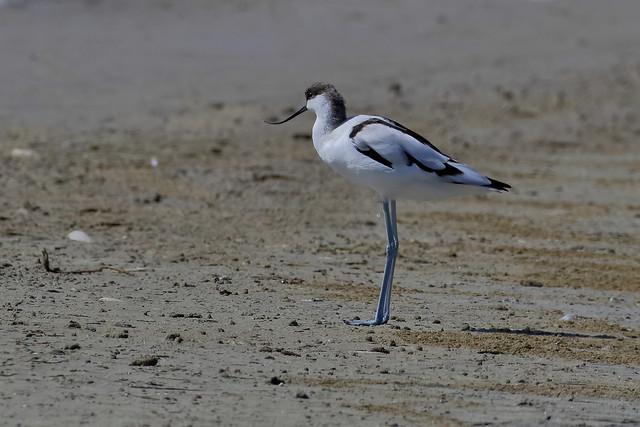 Alfaiate - Recurvirostra avosetta - Pied avocet