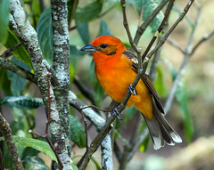 0P7A7088   Flame-colored Tanager, Panama