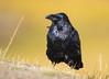 Glowing Raven