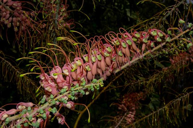 Grevillea dryandri  subsp. dasycarpa