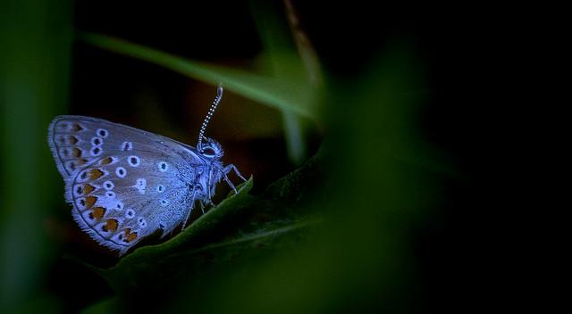 argus bleu nacré / Argus Blue Pearl / Chalkhill Blue