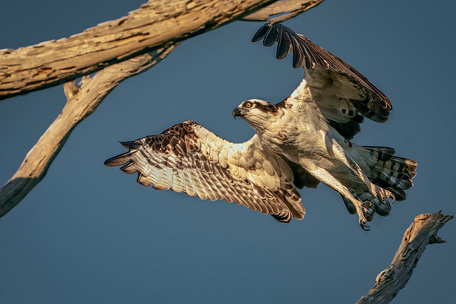 Late afternoon take-off (osprey)