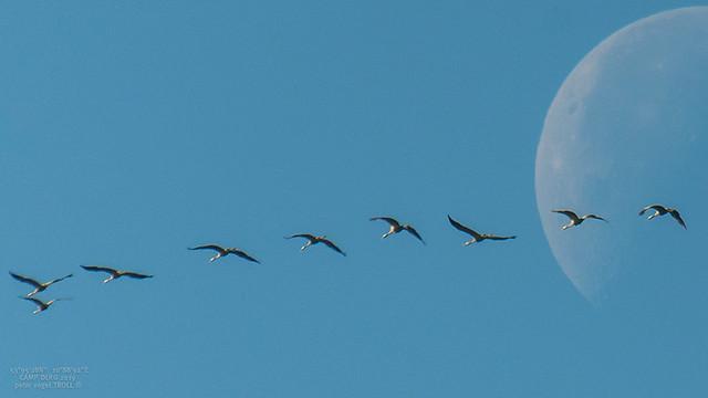 LunaOrbiter • Kraniche Zugvögel-5656
