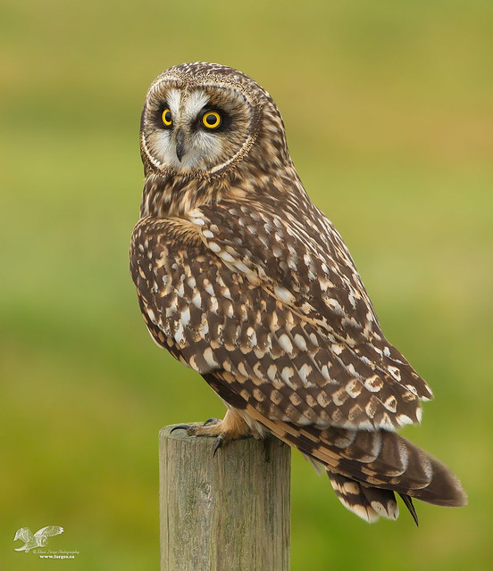 Thinking of Shorty Again (Short-Eared Owl)