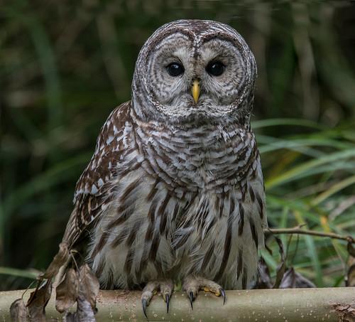 owl barredowl columbiachildrensarboretum portland multnomahco oregon