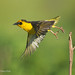 Baglafecht Weaver Takes Flight From A Slender Bare Twig