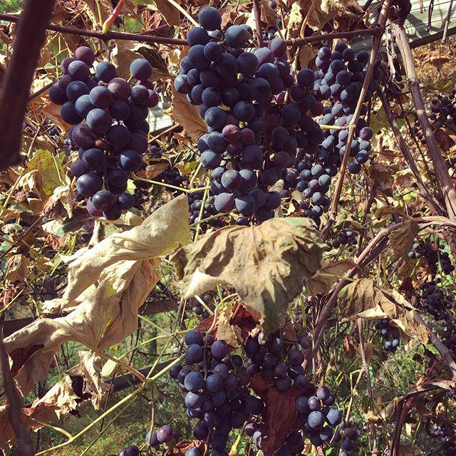 Concord grapes 🍇🍇🍇🍇🍇